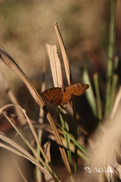 A butterfly on a blade of grass at Mary River Station, NT, Australia
