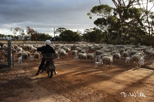 Pushing the new born lambs with their mothers from a paddock to the main premisses of Nyonger Farm, Hyden, WA, Australia