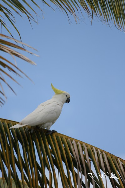 A Sulphur-crested Cockatoo sitting on a palm tree at Airlie Beach, QLD, Australia