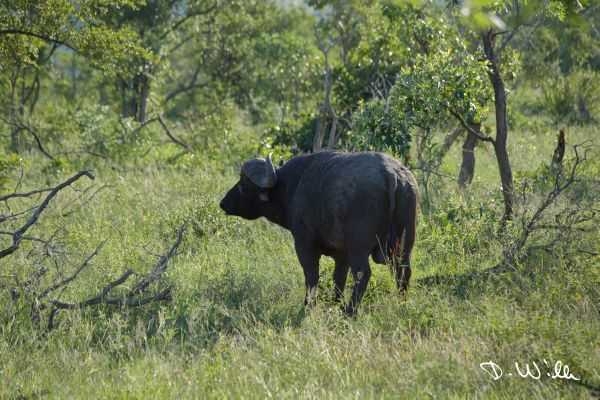 African Cape buffalo, Kruger National Park, South Africa