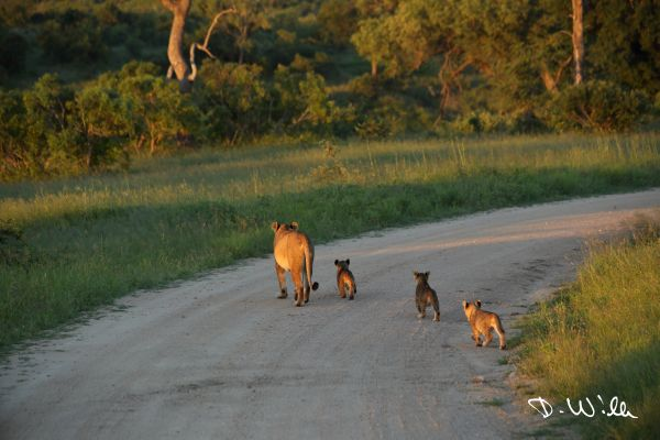 Lioness with cubs, Kruger National Park, South Africa