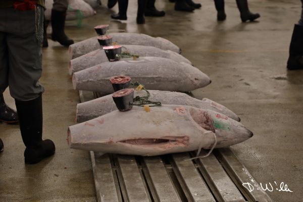 Tuna auction at Tsukiji fish market, Tokyo, Japan