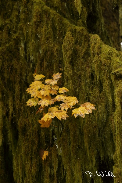 Moss on a tree at Lynn Creek, North Vancouver, BC, Canada