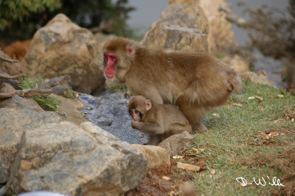 Young Japanese Macaque with his mother, Kyōto, Japan