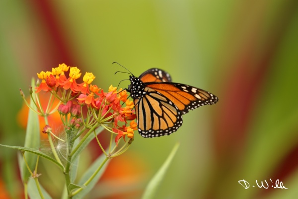 Monarch butterfly, Teneriffe, Spain