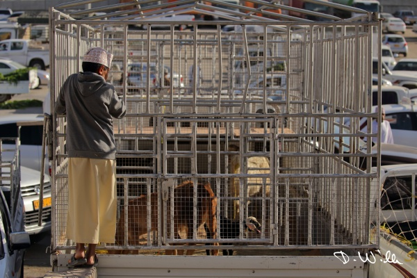 Boy overlooking cattle on a transporter at the cattle market in Nizwa, Oman