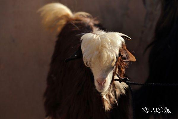 Goat at the cattle market in Nizwa, Oman