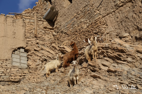 Goats on the crumbling walls of a loam house, Birkat al Mouz, Oman