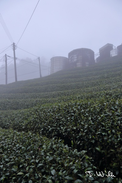 Fog hovering above tea bushes, Shizhuo, Taiwan