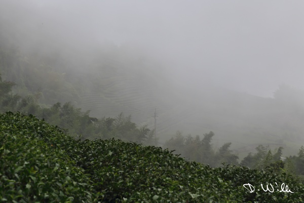 Fog hovering above tea plantations, Shizhuo, Taiwan