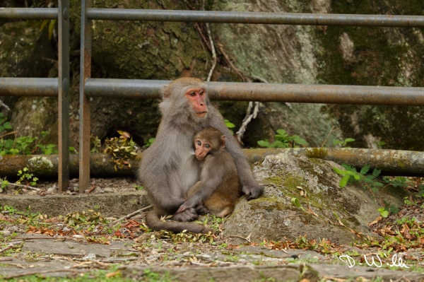 Formosan Macaques (also called Formosan Rock Monkeys), Taroko NP, Taiwan
