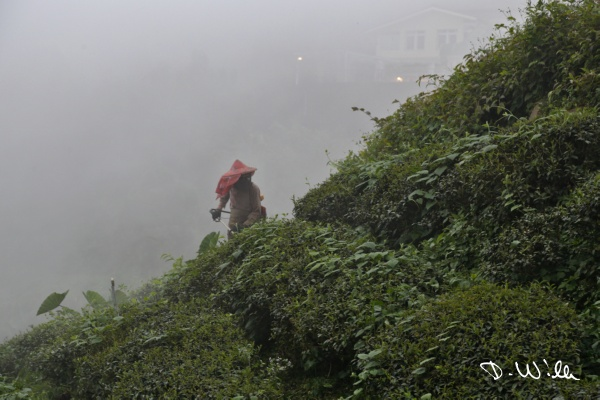 Man cutting weeds between tea bushes, Shizhuo, Taiwan