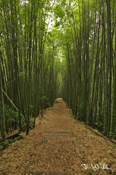 Path leading through bamboo, Shizhuo, Taiwan