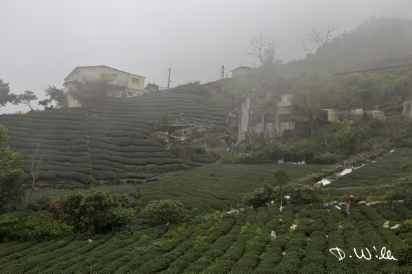 Tea plantation, Shizhuo, Taiwan
