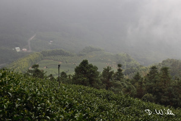 Tea plantations, Shizhuo, Taiwan
