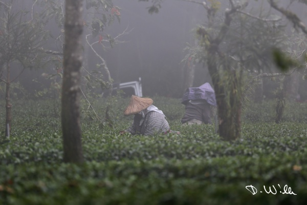 Women collecting tea leaves, Shizhuo, Taiwan