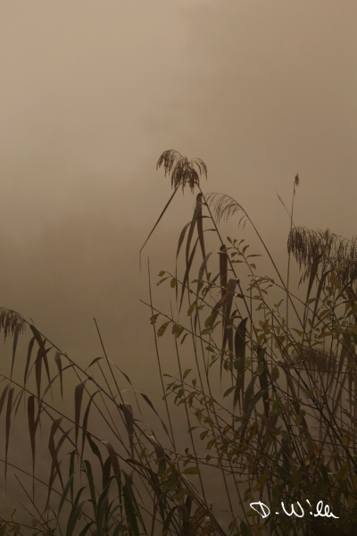Water reed during sunrise on a foggy morning, Kreuzteich, Riddagshausen, Braunschweig, Germany