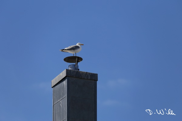 Sea gull sitting on a chimney, Binz, Rügen, Germany