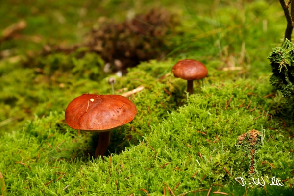 Mushrooms on a bed of moss, Harz, Germany