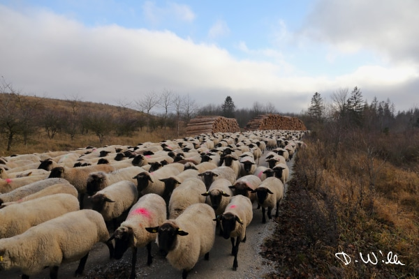 Sheep pushed across a road, Harz, Germany