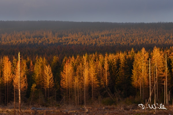 Trees highlighted by the setting autumn sun, Harz, Germany