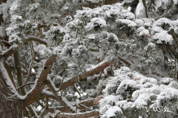Branches of a pine tree covered in snow, Harz, Germany