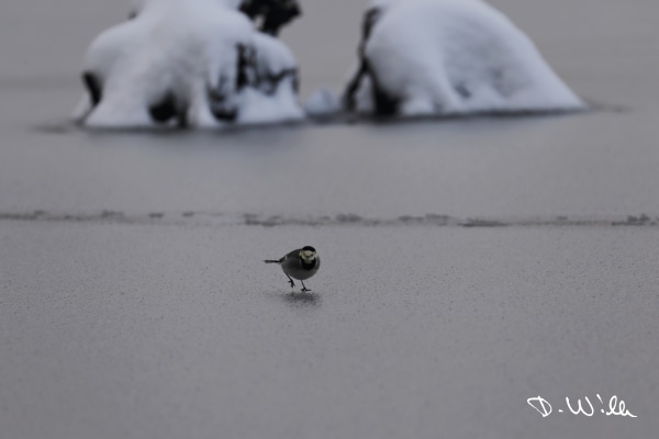 White wagtail on the frozen surface of a pond, Riddagshausen, Braunschweig, Germany